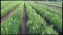 Stevia plants ready for harvesting